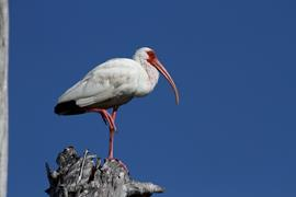 White Ibis Perched
