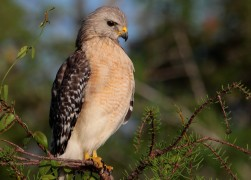 Red Shouldered Hawk 1