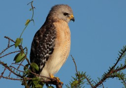 Red Shouldered Hawk 2