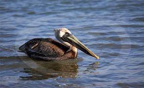 Brown Pelican 1