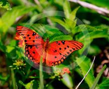 Everglades Butterfly