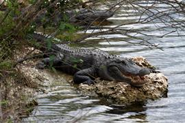 Gator in the Glades 1